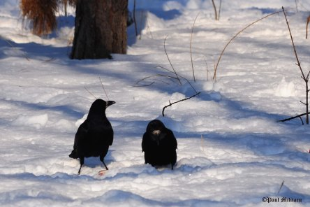 heated-discussion-between-two-crows-in-the-snow