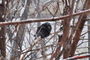 huddling-crow