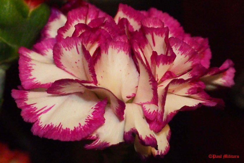 carnation-laced